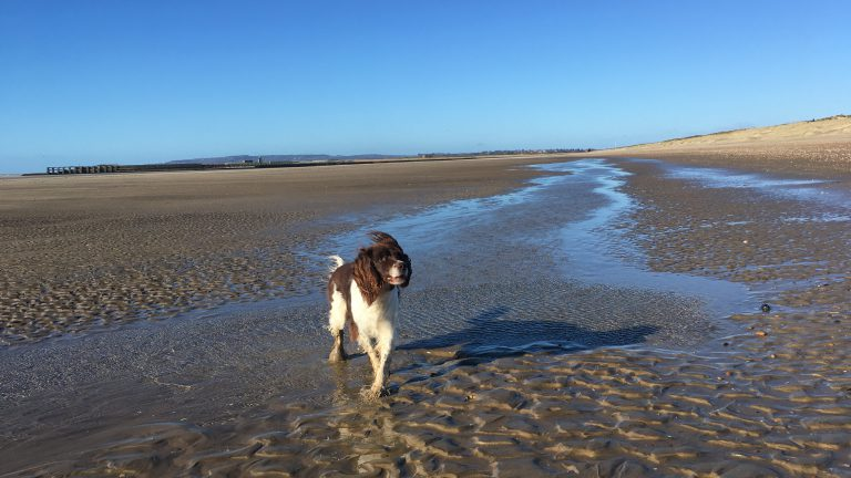 A Springer Spaniel plays in a shallow lagoon at Camber Sands.