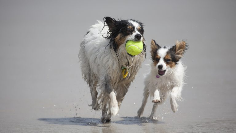 Two dogs play with a tennis ball staying at our dog friendly cottages Camber Sands.