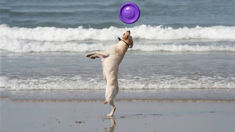 A labrador plays with a frisbee in the sea
