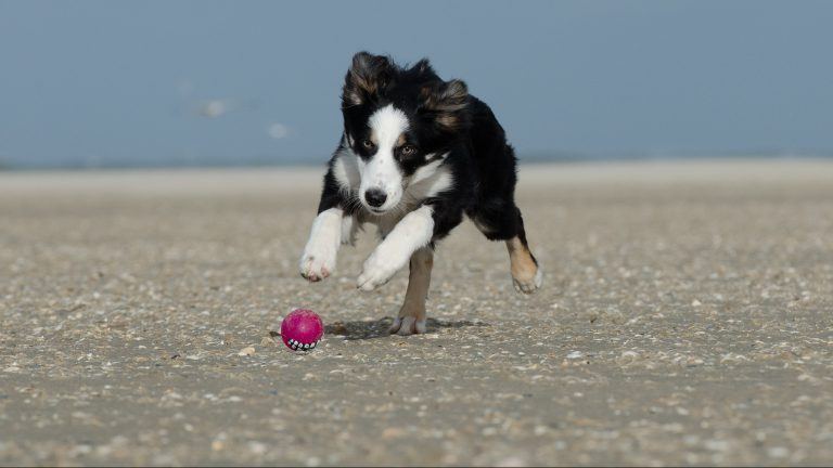 A young boarder collie playing with a ball on the beach.