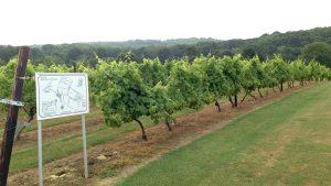 Grapevines at Biddenden Vineyard