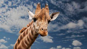 A giraffe's head in the clouds
