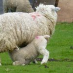 A lamb feeding from it's mother on the Romney Marshes.