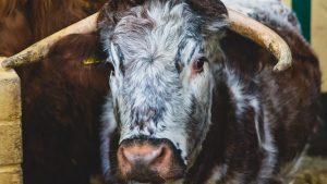 English longhorn at The South of England Rare Breeds Centre