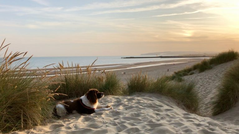 A Springer Spaniel dog views Camber Sands beach at sunset