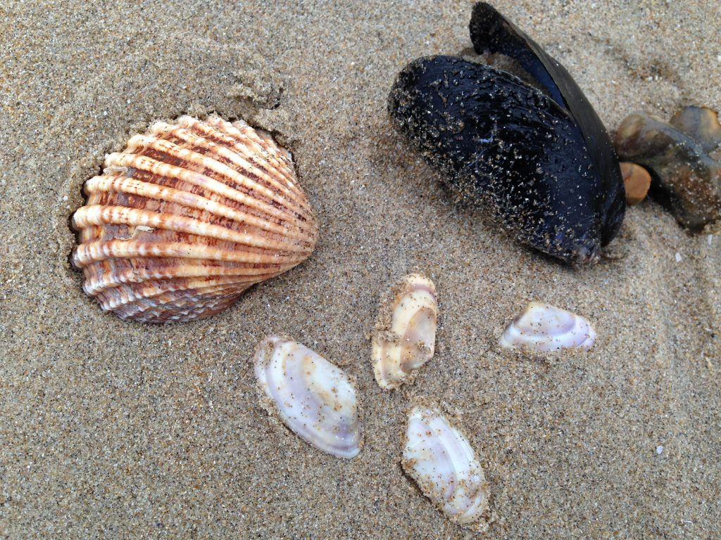 Cockle, mussel and small clam shells can all be found on a beach scavenger hunt.